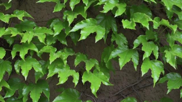 바닥에서 지붕까지 집의 전체 외관을 덮는 큰 담쟁이 식물 (헤데라 나선)의 b-roll 샷. - 아이비 스톡 비디오 및 b-롤 화면