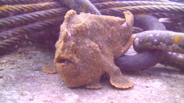 brązowy frogfish - żabnicokształtne filmów i materiałów b-roll