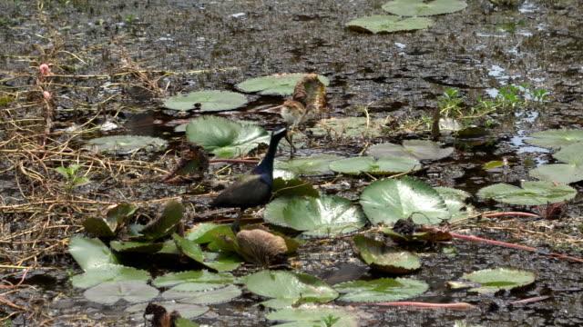 Bronze winged Jacana, a migratory bird of the wetlands video