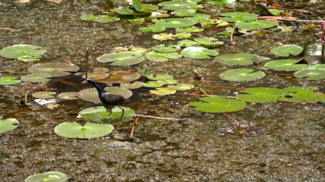Bronze winged Jacana is alone, a migratory bird of the wetlands video