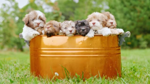 A brood of puppies sits in a bucket that stands on a green lawn Many small puppies are sitting in a copper bucket. They look at the camera. Favorite pets. 4k video large group of objects stock videos & royalty-free footage