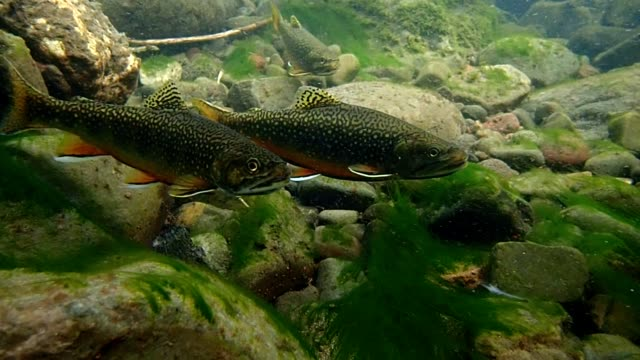 brook trout - trout video stock e b–roll