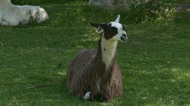 Brown alpaca on the grass outdoors in summer. Alpaca Farm. Lamas.