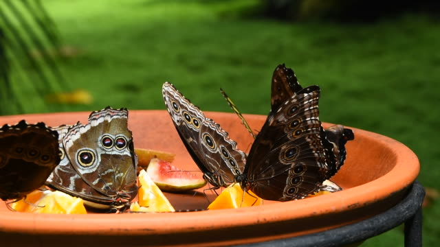 Brown and blue tropical butterflies eating fruits video