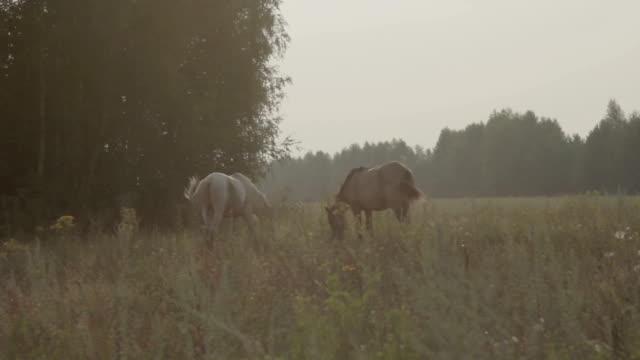 cavallo marrone e bianco pascolano in un campo - stallone video stock e b–roll