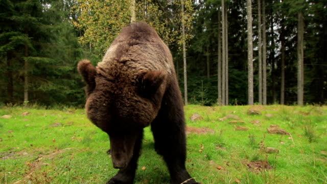 Brown Bear Close In Nature video