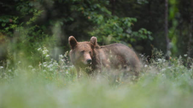 LD Brown bear eating in the meadow and looking around