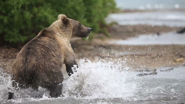 brown bear.  fisher - bear stock videos and b-roll footage