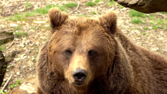 brown bear from pyrenees - bear stock videos and b-roll footage