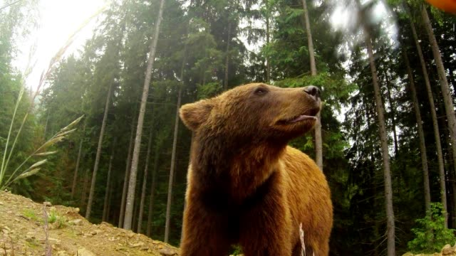 brown bear in cloudy weather on the rocky edge of a pine forest and mountain yellow flower posing for the camera - bear stock videos and b-roll footage