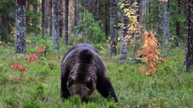 Brown bear in the autumn forest. Brown bear in the autumn forest. Scientific name: Ursus Arctos.  Natural habitat. bear stock videos & royalty-free footage