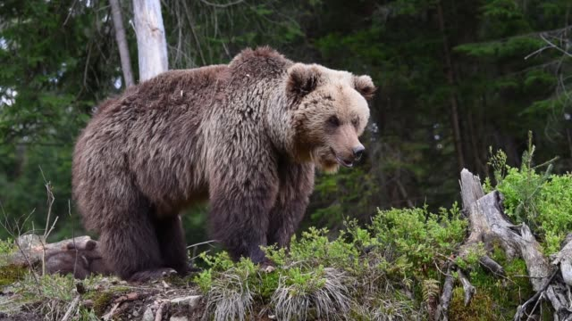 Brown bear in the forest video
