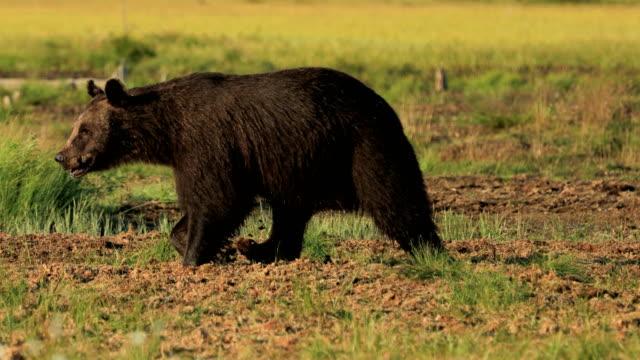 野生の自然のヒグマ(ウルサスアークトース)は、ユーラシア北部と北米の大部分で見られるクマです。北米では、ヒグマの個体数はしばしばグリズリーベアと呼ばれています。 - シベリア点の映像素材/bロール