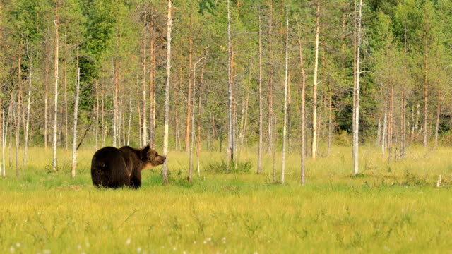 野生の自然のヒグマ(ウルサスアークトース)は、ユーラシア北部と北米の大部分で発見されたクマです。北米では、ヒグマの個体数はしばしばグリズリーベアと呼ばれています。 - シベリア点の映像素材/bロール