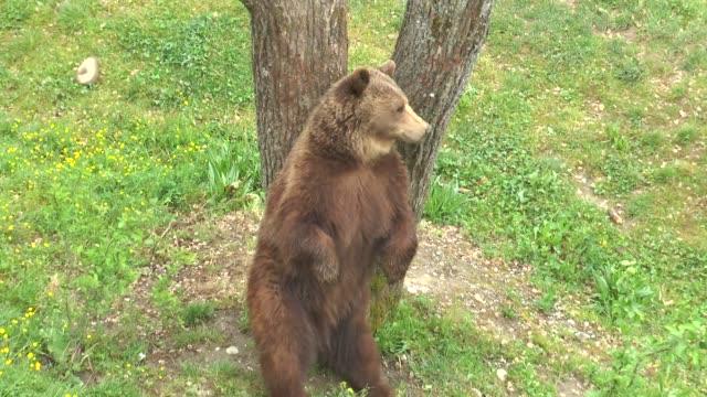 braunbär ist das symbol der schweizer hauptstadt bern. - zoo stock-videos und b-roll-filmmaterial