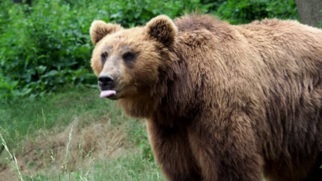 brown bear (ursus arctos beringianus). kamchatka brown bear in the grass. - bear stock videos and b-roll footage