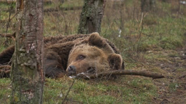 Brown bear lies on the ground in the forest Lazy Brown bear lies on the ground in the forest. It is playing with a stick, smelling, and just looking around. bear stock videos & royalty-free footage