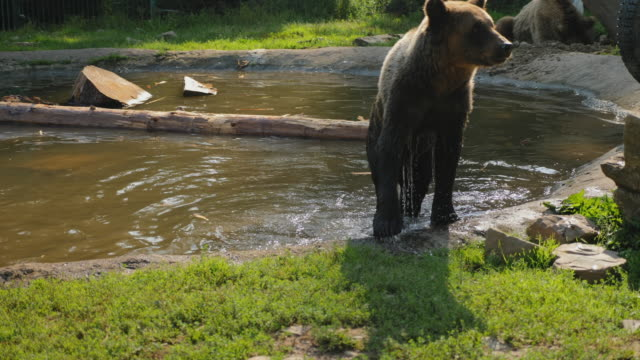Brown bear shakes off water after swimming
