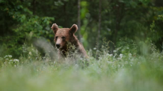 LD Brown bear sitting in the meadow and eating roots and plants Wide locked down shot of a brown bear sitting in the flowery meadow and eating. Shot in Slovenia. bear stock videos & royalty-free footage