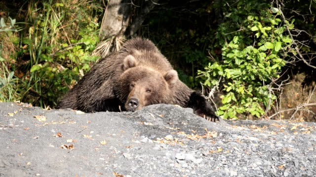 Brown Bear young bears searches for and feed on dead salmon along Sargent Creek near the town of Kodiak, Alaska bear stock videos & royalty-free footage