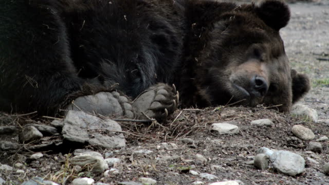 brown bear waking up - bear stock videos and b-roll footage