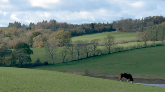 brown beef cattle in a field in dumfries and galloway - soltanto un animale video stock e b–roll