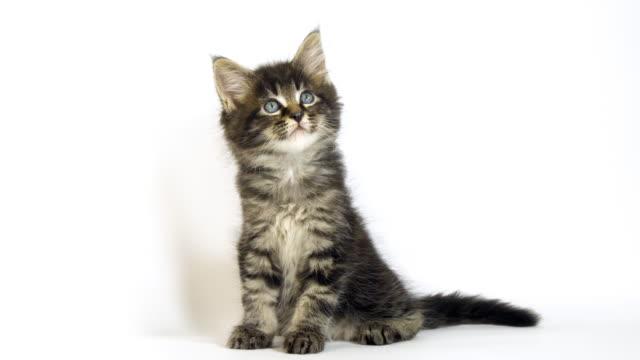 brown blotched tabby maine coon inhemsk katt, kattunge mot vit bakgrund, normandie i frankrike, slow motion 4k - kattunge bildbanksvideor och videomaterial från bakom kulisserna