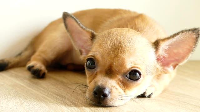 brown chihuahua puppy lying on the floor - молодое животное стоковые видео и кадры b-roll