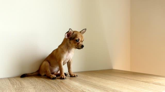brown chihuahua puppy sitting on the floor - молодое животное стоковые видео и кадры b-roll