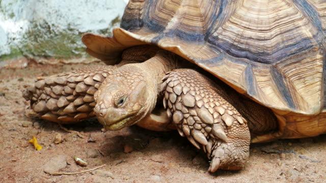 brown color tortoise - żółw lądowy filmów i materiałów b-roll