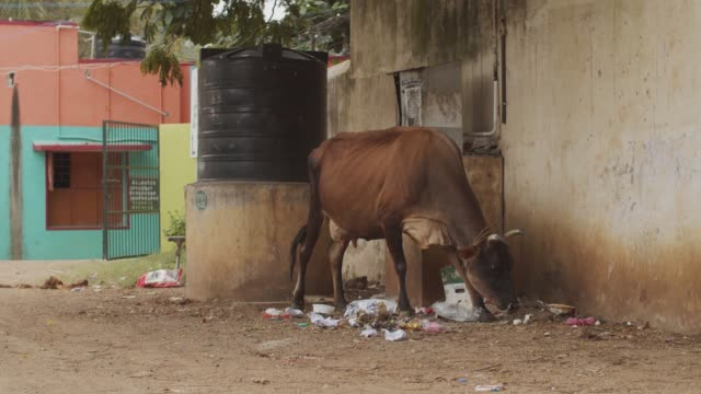 Brown cow eating rubbish on dirty indian street alone no people around slow motion. Domestic animal walking grazing on urban background close up. Ecology pollution earth protection
