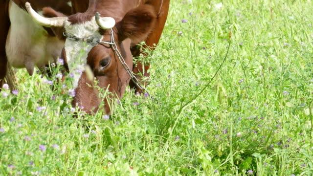 mucca al pascolo in pascolo marrone - giovenca video stock e b–roll