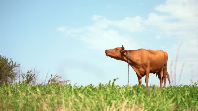 Brown cow in pasture. Milk for making cheese. Growing cows for beef. Calcium-rich milk for children Brown cow in pasture. Milk for making cheese. Growing cows for beef. Calcium-rich milk for children. Farm. Natural food of animal origin. Ecologically clean area. Sacred animal. pasture stock videos & royalty-free footage