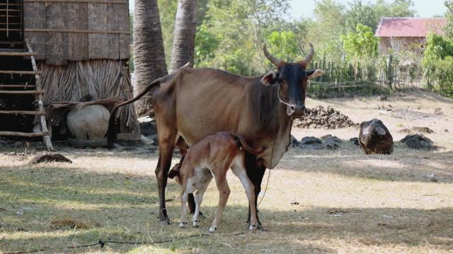 brown mucca legato con corda in un campagnoli e vitello da latte piano latte dalla sua tettarelle - giovenca video stock e b–roll