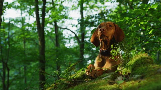 brun hund i en skog - hund skog bildbanksvideor och videomaterial från bakom kulisserna