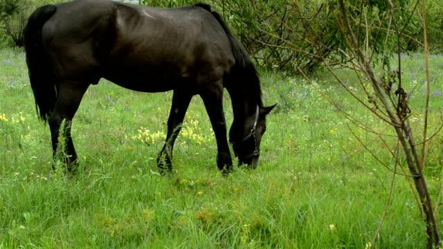 brown domestic stallion grazes on a green meadow. - grzywa filmów i materiałów b-roll