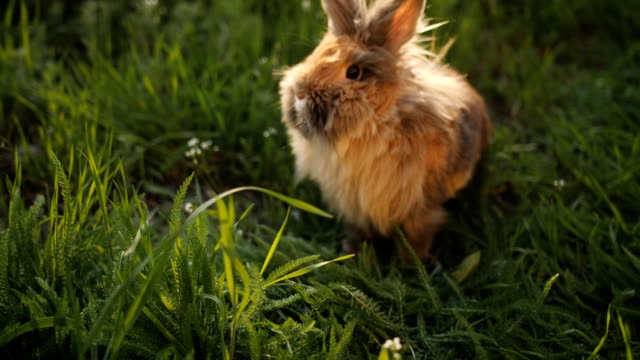 Brown fluffy Bunny studied with interest the green grass on the lawn in the setting sun.