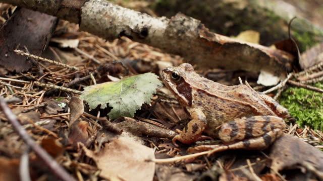 Brown frog video