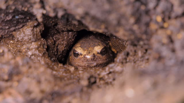Brown frog was living in burrow at wetland. video