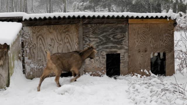brown goat goes in house in snow - żywy inwentarz filmów i materiałów b-roll