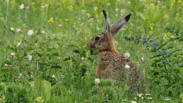 Brown Hare - Lepus europaeus, European hare, species of hare native to Europe and parts of Asia, the largest hare species, open country, herbivorous, feeding and eating the green grass on the meadow.