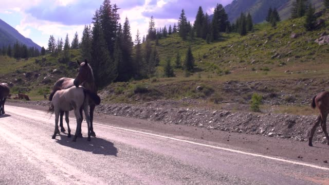 brown horse and foal on mountain road - cavalla video stock e b–roll