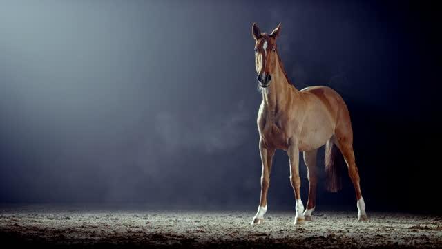 slo mo brown häst är uppmärksam i arena på natten - racehorse track bildbanksvideor och videomaterial från bakom kulisserna