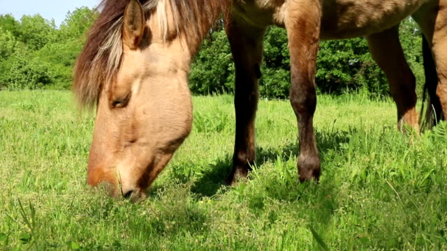 brown horse eating grass on meadow close up - sella video stock e b–roll
