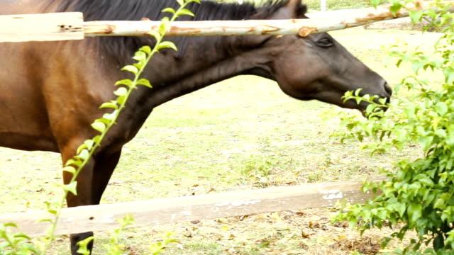 Brown horse eating hay in stable Brown horse eating hay in stable paddock stock videos & royalty-free footage