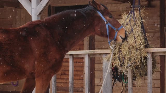 brown horse eating hay in stable - stallone video stock e b–roll