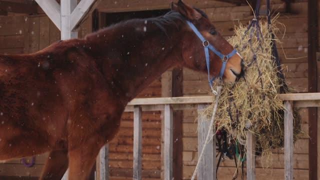braune pferd essen heu im stall - hengst stock-videos und b-roll-filmmaterial
