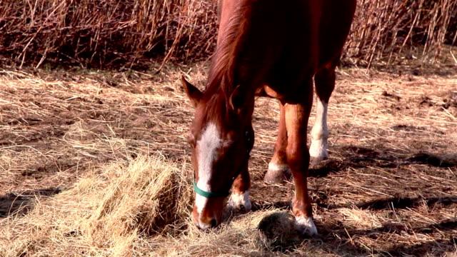 brązowy koń zakleszczanie niektóre z trawami - grzywa filmów i materiałów b-roll