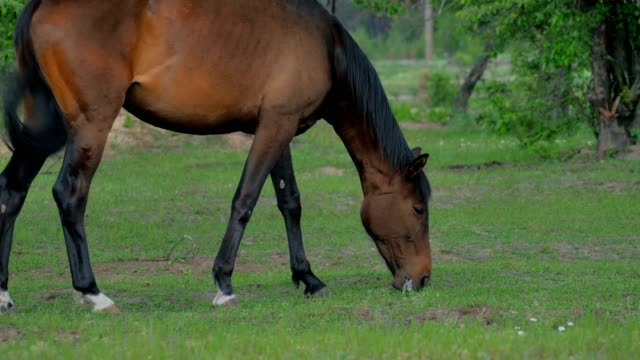 Brown horse grazing on a green meadow video