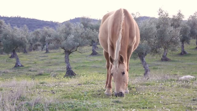 Brown horse grazing video